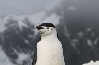 Chinstrap Penguin, Elephant Island