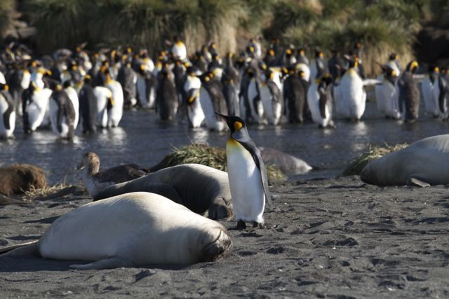King Penguins, Gold Harbor, South Georgia Island
