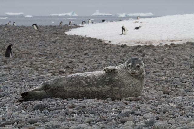Fur Seal on Paulet Island